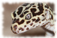 Bold Striped Bandit Leopardgecko