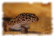 Mack Snow Leopardgecko