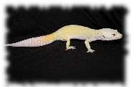 super giant tremper patternless albino leopardgecko